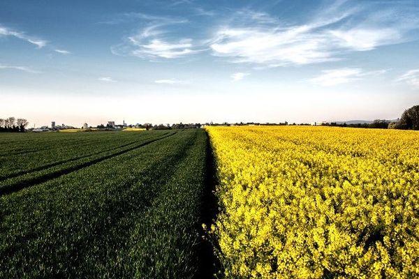 8 000 hectares de colza pourraient être contaminés par des essences OGM en France.