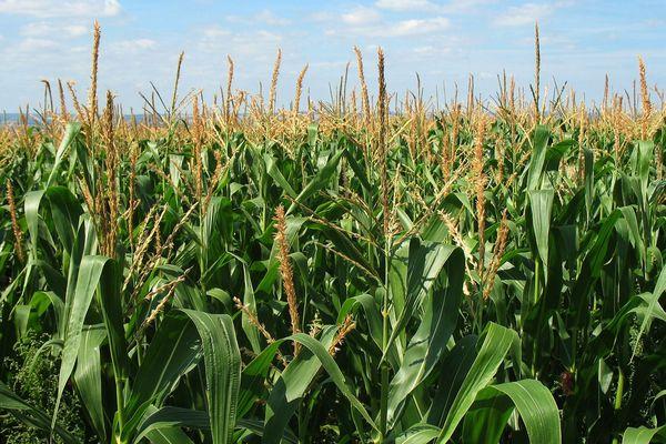 L'écimage du maïs de semence requiert une importante main d'oeuvre saisonnière.