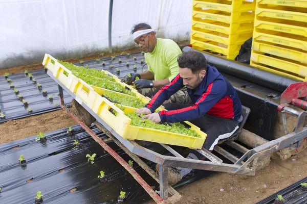 A Mauguio des agriculteurs plantent des semis des tomates bio