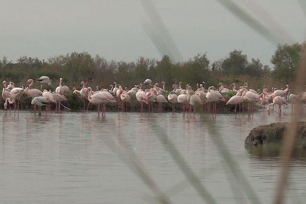 Le parc ornithologique du Pont de Gau, qui reste un endroit privilégié pour observer les flamants roses, est fermé pour cause de confinement.