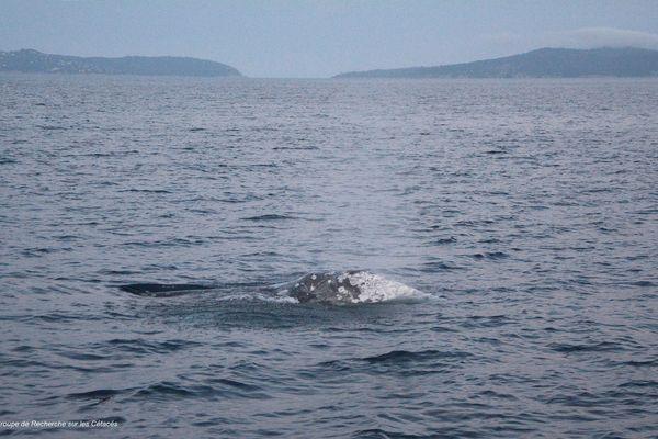 Le baleineau photographié vendredi 30 avril en soirée au large du Cap-Bénat.