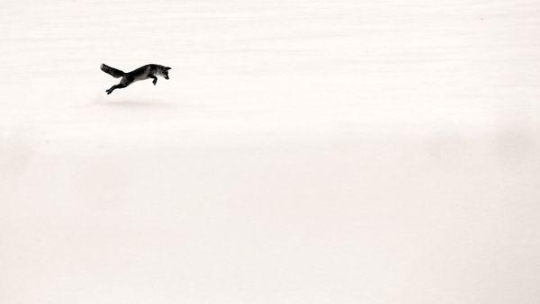 Renard mulotant dans la neige