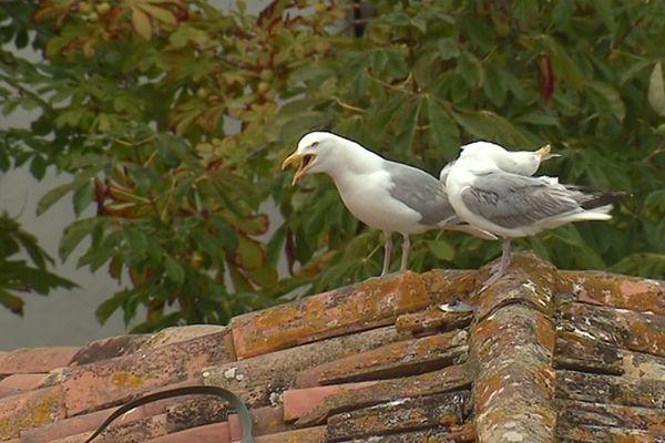 De bien bruyants oiseaux sur l'île de Ré.