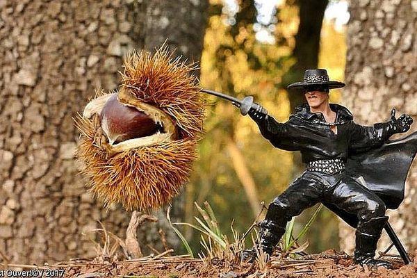 Zorro aux prises avec une châtaigne à Bormes-les-Mimosas