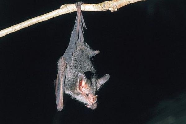 Une vingtaine d'espèces de chauves-souris vivent à l'état sauvage en Dordogne.