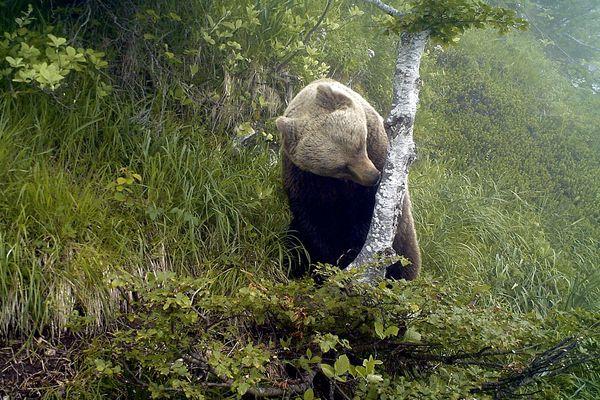 Ours brun des Pyrénées filmé par une caméra à déclenchement automatique.