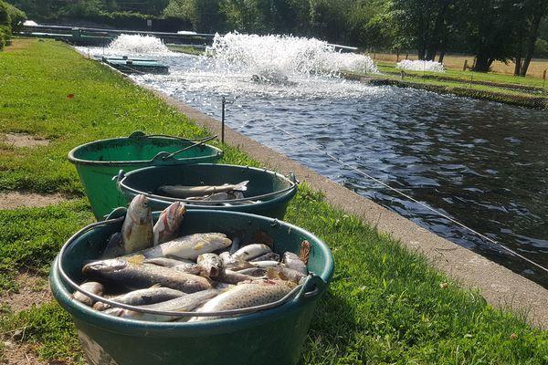 Dans la pisciculture du Moulin de la Charme située à Puy-Guillaume (Puy-de-Dôme), la canicule a des répercussions dramatiques. Près de 400 truites meurent chaque jour par manque d'oxygène.