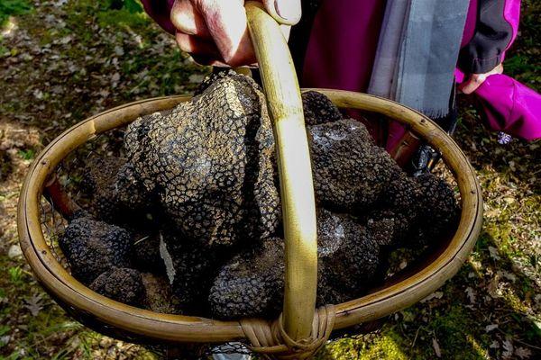 Les récoltes de la truffe ont débuté en juin dernier en Auvergne et se terminent fin décembre.