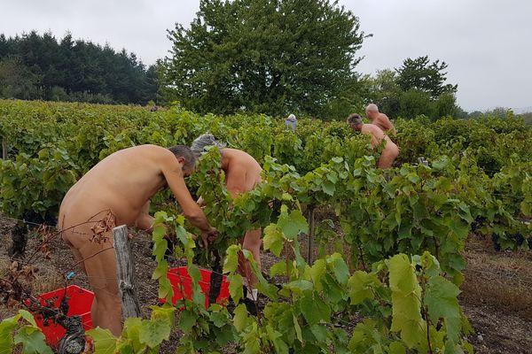 Dans la commune du Crest (Puy-de-Dôme), les 22 naturistes ont cueilli les grappes dès le matin du samedi 29 septembre, malgré des températures très fraîches.