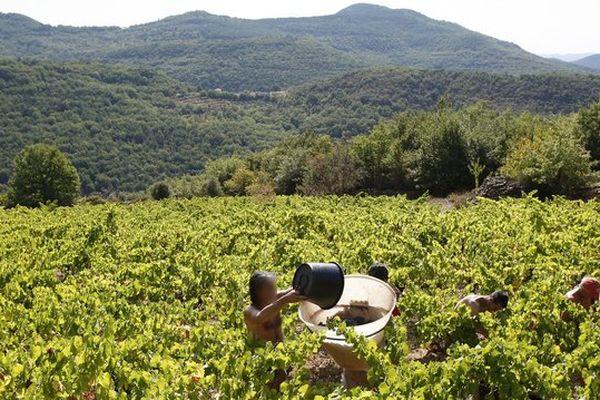 """Vendanges dans l'appellation """"Terrasses du Larzac""""."""