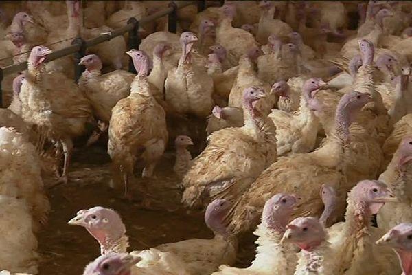 Sur son exploitation, Loïc Perreux élève 12 000 dindes et 33 000 poulets.