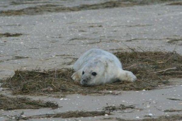 Picardie Nature cherche des volontaires pour sensibiliser les promeneurs au besoin de calme de ce jeune phoque gris