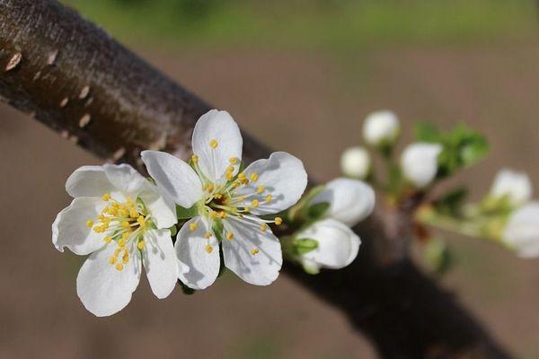 Fleurs de pommier via Pixabay