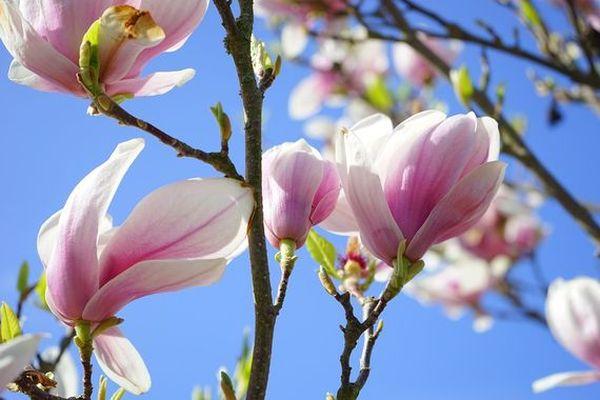 Les magnolias sont en fleurs...