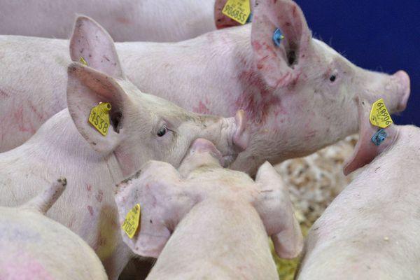 Des cochons d'élevage en partance pour la Chine - Photo d'illustration