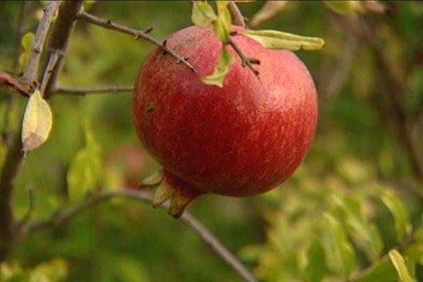 La grenade, un fruit méditerranéen oublié qui revient au goût du jour, grâce à l'engouement pour les fruits bio.