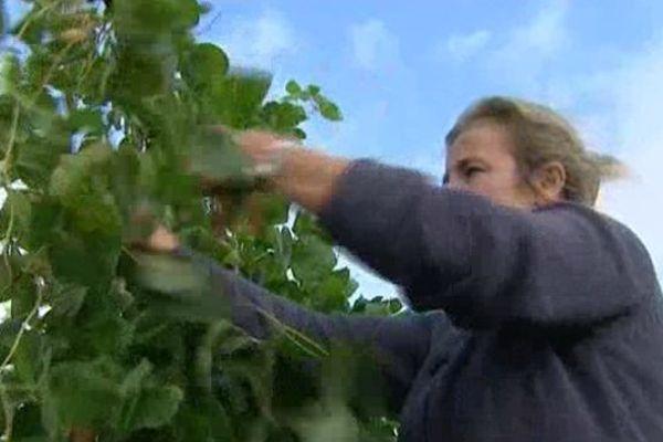 La récolte du Haricot de Soissons