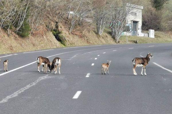 Une garde nature du Sancy a photographié un troupeau de mouflons en plein milieu de la route au Mont-Dore dans le Puy-de-Dôme.