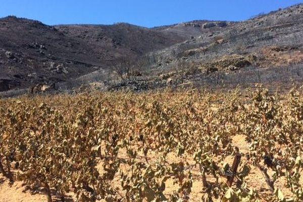 Des parcelles de vigne sinistrées, brûlées par le soleil et la chaleur - 2019.