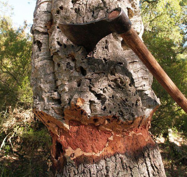 L'écorce du chêne-liège est très épaisse et se regénère.