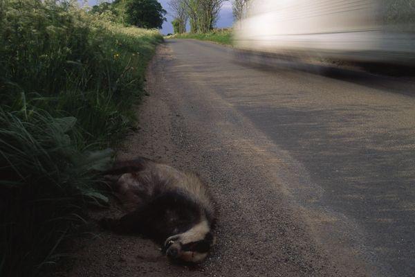 Le blaireau est une espèce qui paie un lourd tribut au trafic routier