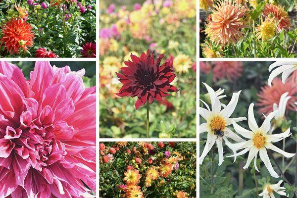 Les dahlias offrent une variété de couleurs et de formes.