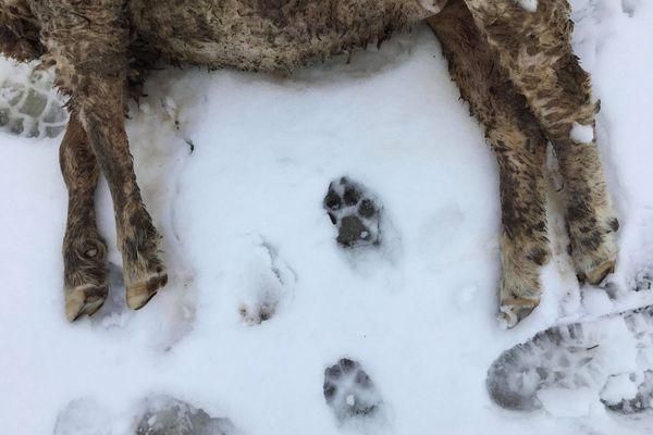 Devant l'un des ovins tués à Ormoy dans la nuit du samedi 16 au dimanche 17 janvier, des empreintes