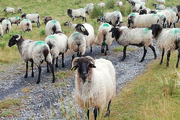 Les laines locales sont utilisées par Laines paysannes pour fabriquer des vêtements, des tapis ou encore des couettes.