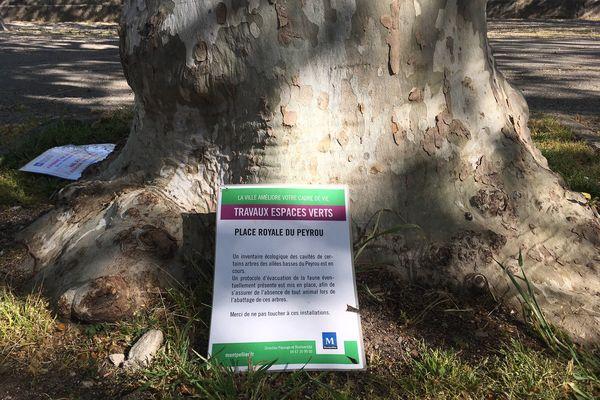 Les affiches apposées en amont de l'abattage ont permis de limiter son impact sur la faune de la place du Peyrou.