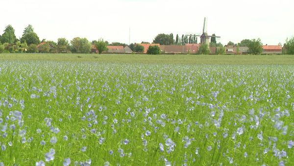 Plus de 50 000 hectares de lin sont cultivés dans la région, ce qui en fait un bassin de production pour la matière