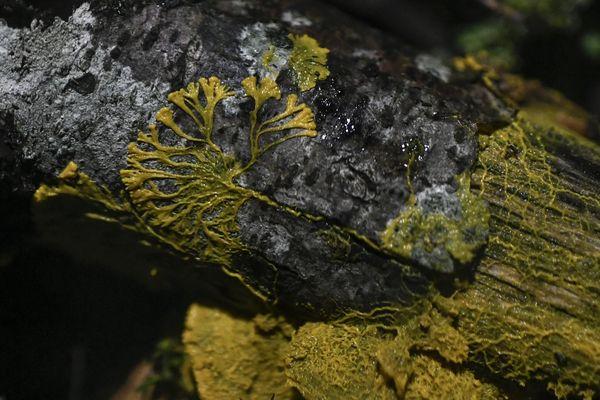 Le physarum Polycephalum plus connu sous le nom de blob ici étudié au Parc zoologique de Paris