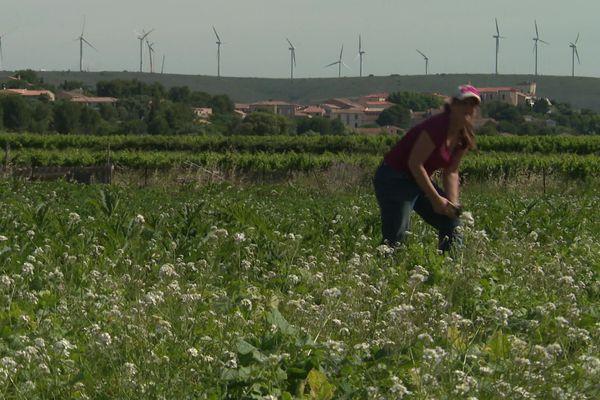 Magali Dorques cultive des fruits et légumes de saison en agriculture biologique dans ses champs à Villeveyrac, dans l'Hérault