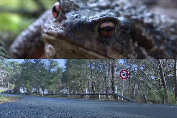 L'ONF a mis en place un procédé pour éviter que les crapauds meurent écrasés par les voitures.
