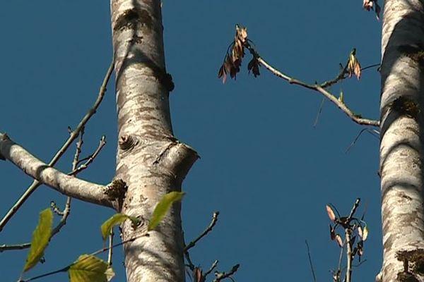 Ici, des arbres élagués d'un côté seulement, pour éviter que les branches ne dépassent sur la route
