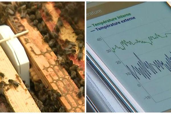 Toutes les heures pendant quelques millisecondes, les boitiers transmettent des informations sur le téléphone portable ou l'ordinateur de l'apiculteur. Ils comparent deux coubres : l'hydrométrie et la températures dans les ruches.