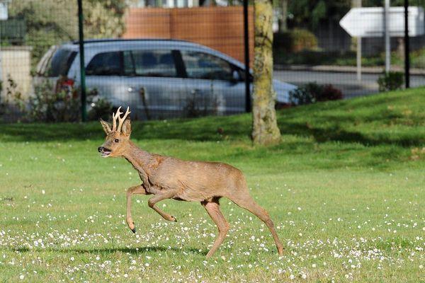 (Image d'illustration) Avec le confinement, les animaux sauvages s'approchent des zones urbaines.