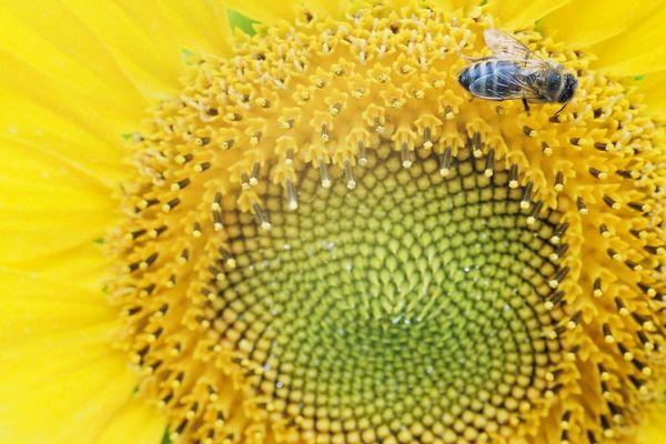 Les abeilles en transit ont préféré le camion du pizzaiolo aux fleurs