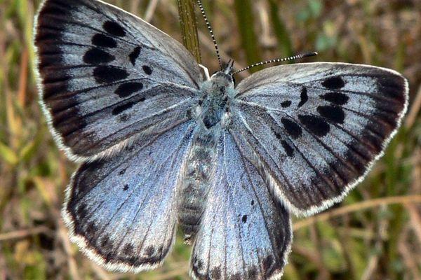 """Un """"Grand Bleu"""" ou """"Azuré du serpolet"""" photographié en France, dans les Pyrénées."""