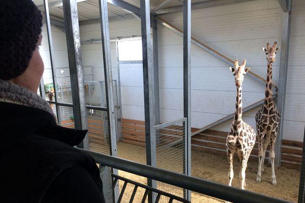 L'enclos des girafes du parc animalier d'Auvergne doit être maintenu à une température ambiante oscillant entre 16 et 20 degrés.