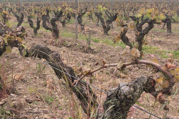 100% de la récolte perdue à Savennières dans le Maine-et-Loire