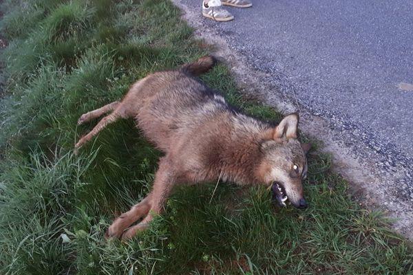 Le loup percuté par une voiture à Villereversure (Ain).