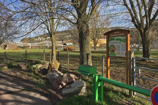Eco-pâturage avec les vaches Highland de la municipalité de Sotteville-lès-Rouen en bordure de la Seine