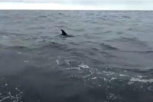 Une orque au large de Royan