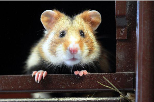"""Le grand hamster d'Alsace a été classé en """"danger critique"""" d'extinction dans la liste rouge de l'UICN."""