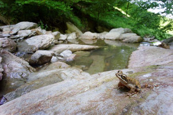 La grenouille des Pyrénées, endémique des Pyrénées et sentinelle des torrents de montagne. Elle est déjà considérée comme en danger d'extinction, selon le classement de l'UICN.