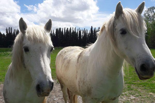 """Au milieu des chevaux Camargue, en suivant les """"piades du matin"""""""