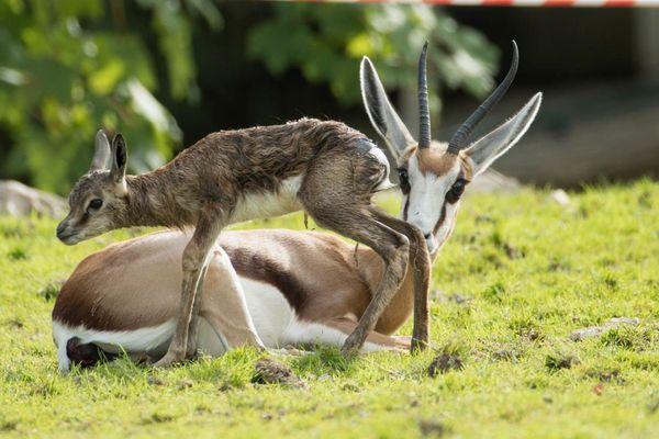 Nut le petit springbok avec sa maman