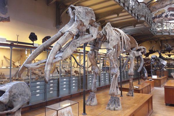 Archéobélodon Filholi exposé dans la galerie de Paléontologie du Muséum national d'Histoire naturelle.
