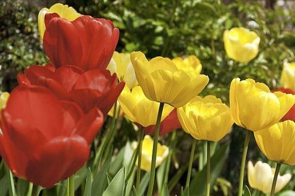 Montceau-les-Mines : 45 000 tulipes sont à cueillir au profit de la recherche contre le cancer