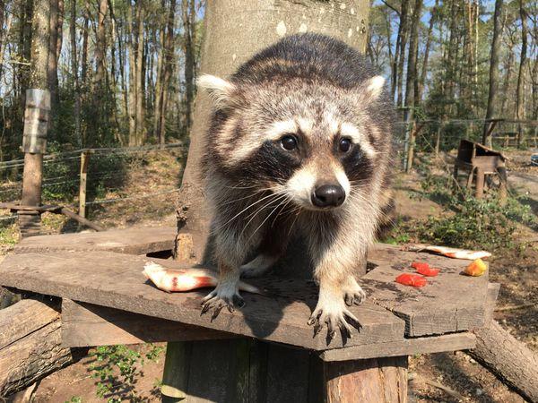 Les ratons laveurs profitent de la fermeture du zoo pour s'activer encore plus autour de leurs jeux préférés